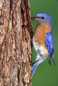 Eastern Bluebird by Stuart McPherson