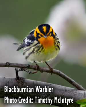 Blackburnian Warbler: Photo: Timothy McIntyre